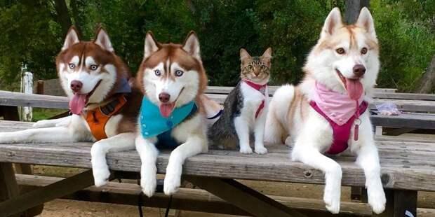 Кошка выросла рядом с собаками хаски, а теперь совершенно уверенна, что она собака хаски
