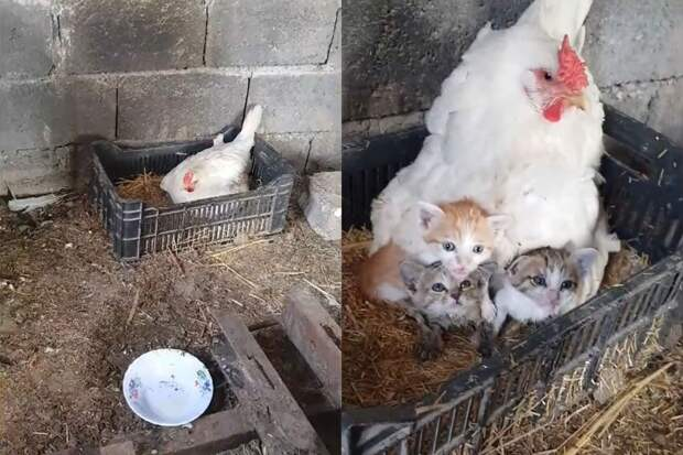 Курица взяла под опеку трех осиротевших котят и растрогала интернет