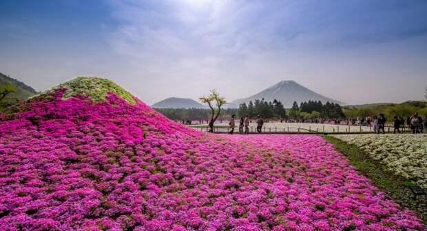 Флоксы у подножия Фудзиямы: розовый рай Японии