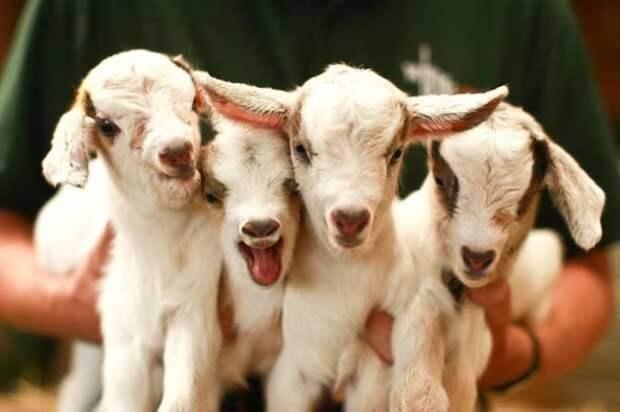 29 фотографий супер очаровательных и непоседливых козлят - 18