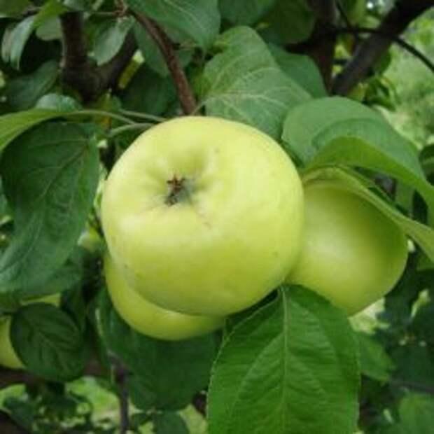 Яблоко сорт Антоновка