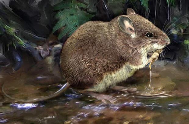Болотные крысы, Африка