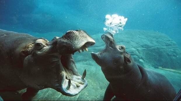 Всё, что вы хотели знать о бегемотах, но боялись спросить