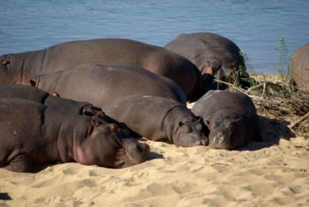 Есть и спать — какие представители животного мира самые ленивые (4 фото)