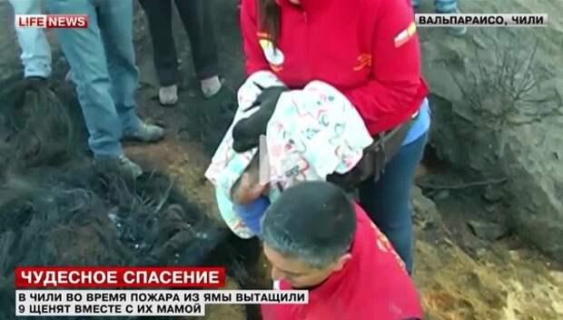 При пожаре в лесу в Чили собака спасла 9 щенят вырыв яму