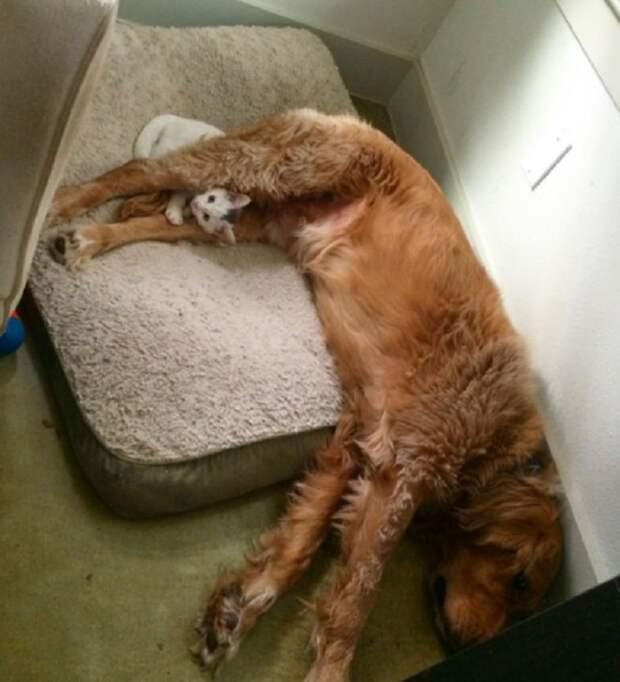 «Я тоже пес!»: Котенок, который решил, что он… собака!