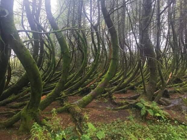 Выгнутые стволы деревьев