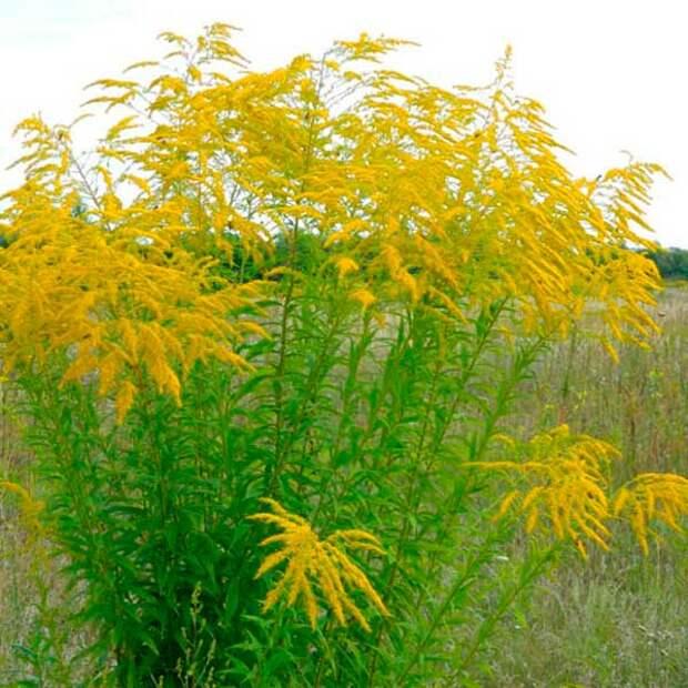 Лекарственное растение Золотарник - золотая розга (Soilidago virgaurea)