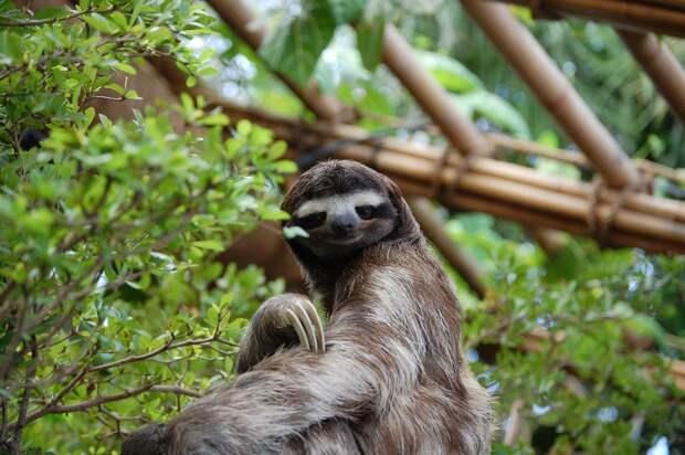 17 удивительных фактов о ленивцах 14