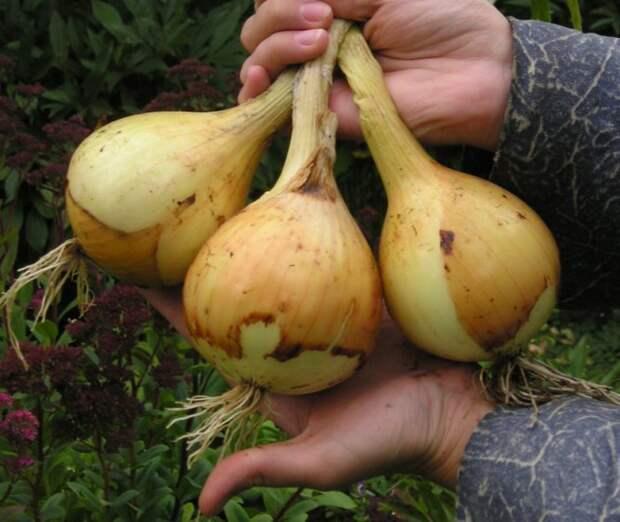 Сорт лука репчатого: Эксибишен Supersadovod - о саде и огороде просто и интересно