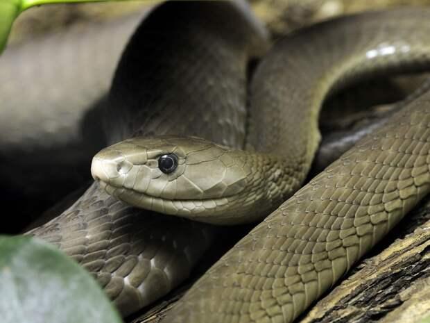 Black mamba venom is deadly (file image)