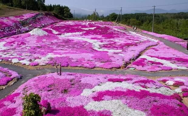 Шиловидные флоксы: ковер из цветов