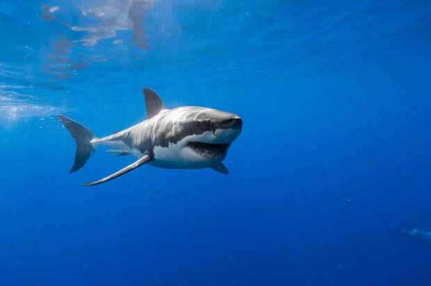 Фотограф Джордж Пробст разрушает стереотипы о белых акулах
