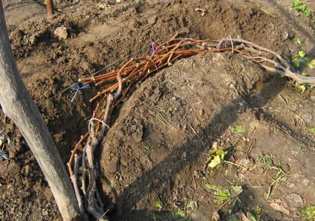 Виноград: посадка, уход, обрезка и размножение