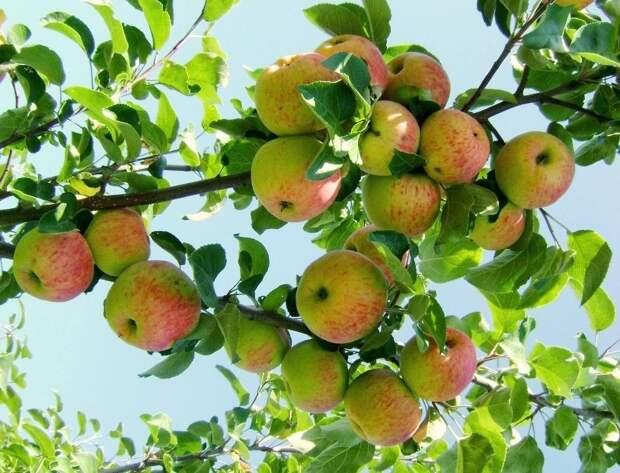 Антоновка и компания: яблони народной селекции