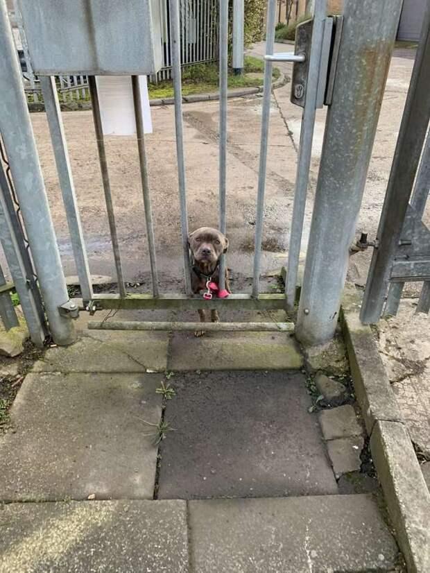 К воротам приюта тайно привязали тощую собаку. Бедняжка просунула морду сквозь прутья, с грустью глядя на этот мир
