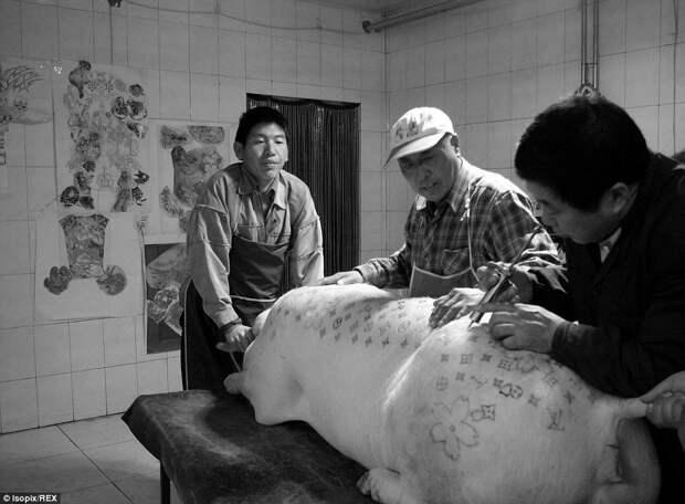 7.Татуированием занимается трое художников. Сначала они вводят животному наркоз, а затем протирают кожу спиртом.