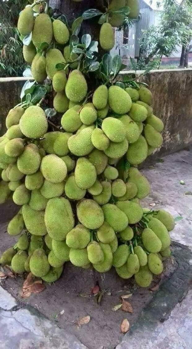 Джекфрут еда, изобилие, красиво, растения, урожай