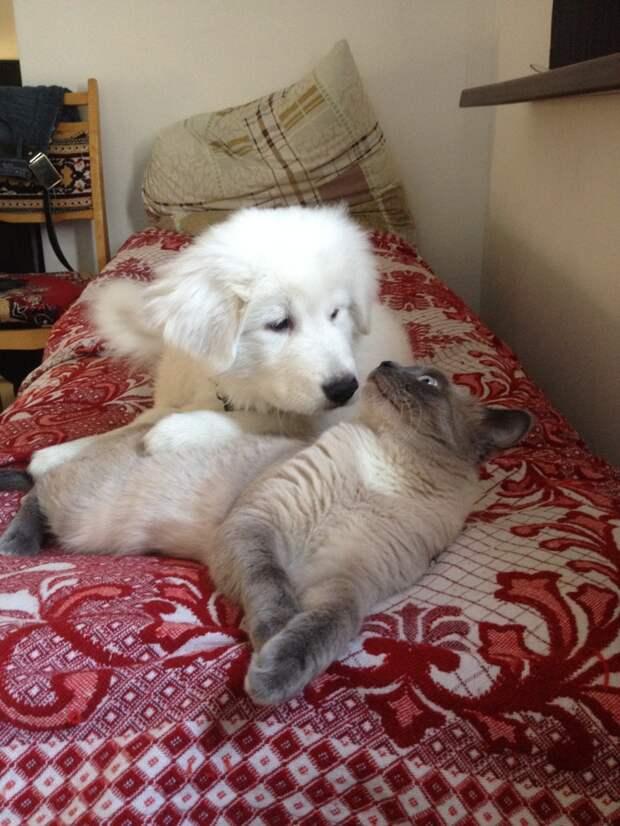 Мареммо-абруццкая овчарка животные, история, коты, прикол, факты