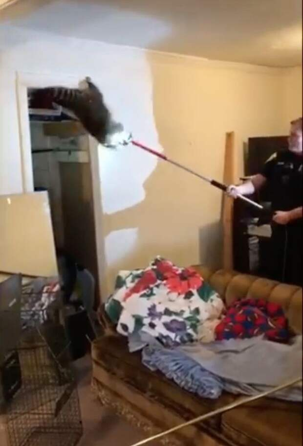 Racoon-mum-and-five-babies-fall-through-mans-ceiling-and-cause-absolute-havoc (3)