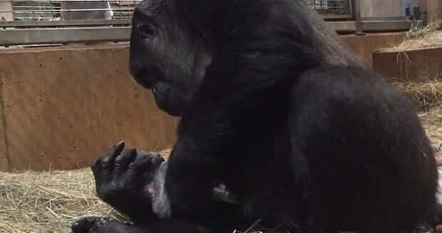 Детеныша назвали Моки Смитсоновский национальный зоологический парк, горилла, детеныш, животные, поцелуй, рождение, фото