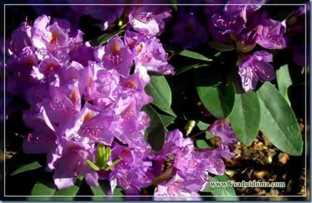 Рододендроны (фото) — уход и посадка цветка