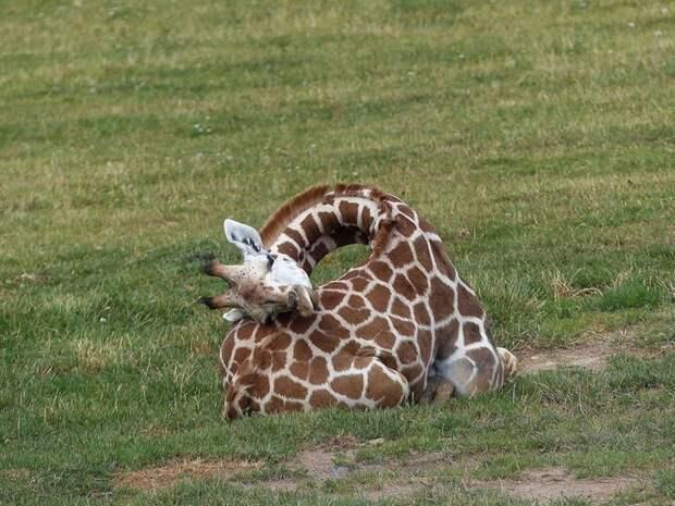 4 редких фото спящего жирафа. Они спят по 20 минут в день