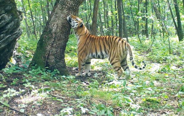 В Хабаровском крае амурский тигр зашел севернее своего ареала