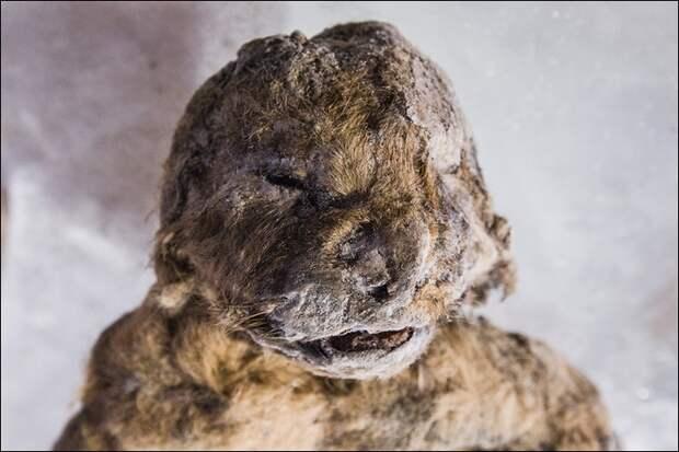 Ученые из Якутии решили клонировать пещерных львов