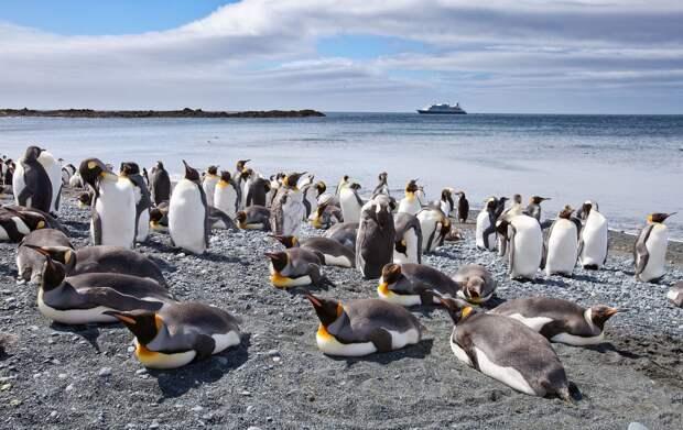 1. Большая популяция пингвинов живёт на австралийском зелёном острове Маккуори.