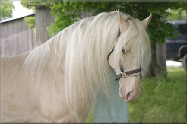 Золотистая шампанская животные, красота, лошади