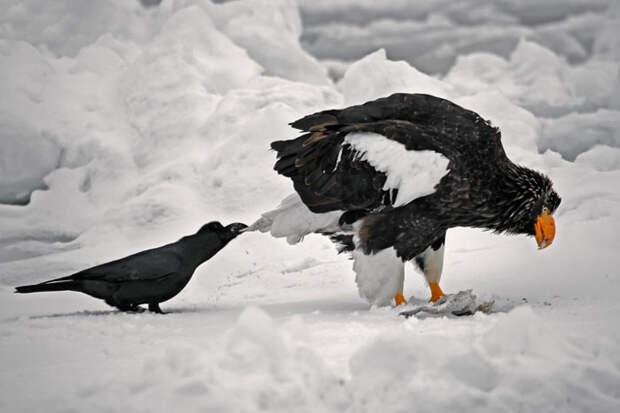 crows-tease-animals-peck-bite-tails-trolls-corvids-3