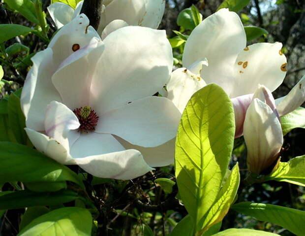 Магнолии - цветущие аристократки