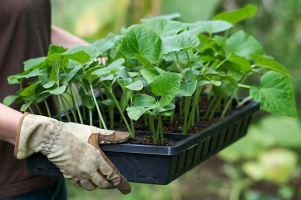 Видео: 2. Высадка в грунт. Технология изобилия урожая (по методу Миттлайдера) 2 выращивание помидор в открытом грунте в краснода