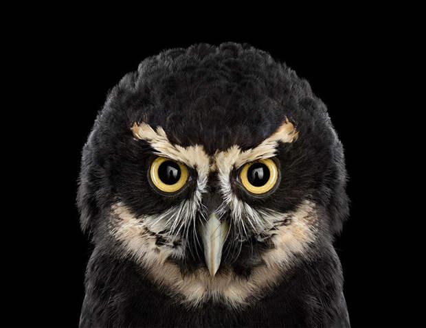 Красавицы совы