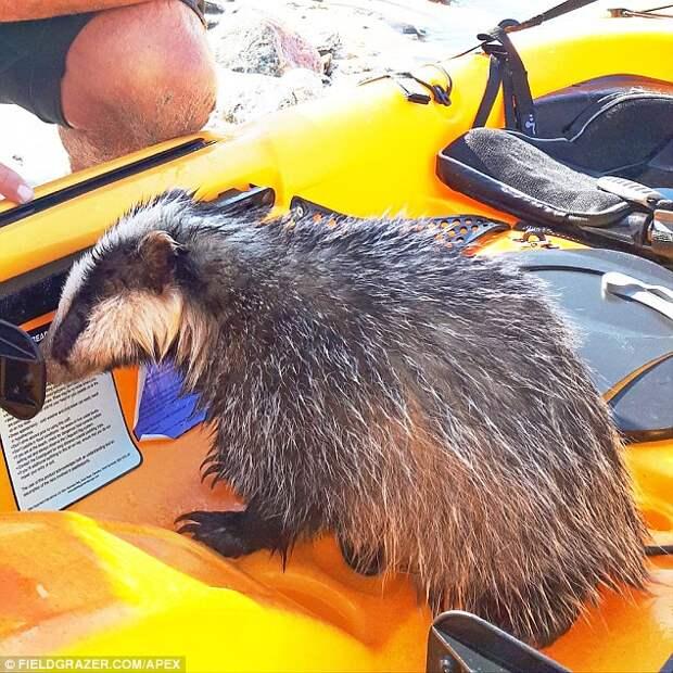 Плавающий на каяке британец спас тонущего барсучонка