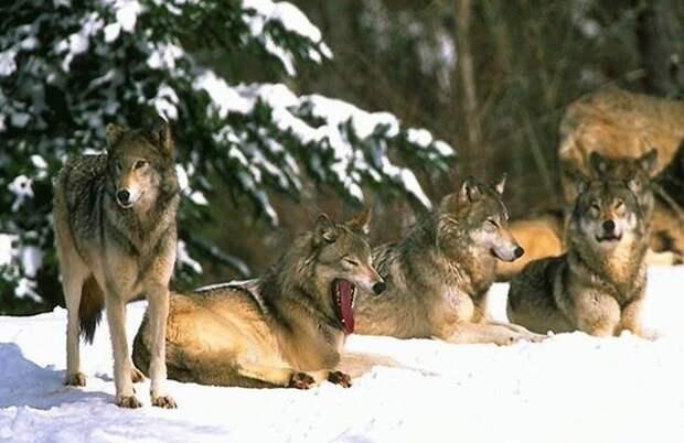Волки - это сила...