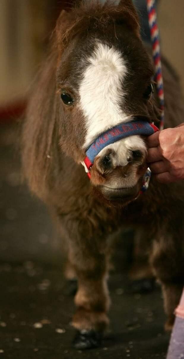 Посмотрите на самую маленькую лошадку в мире. Нельзя не умиляться этой крошке!