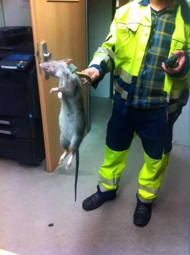 Гигантскую крысу поймали в Великобритании