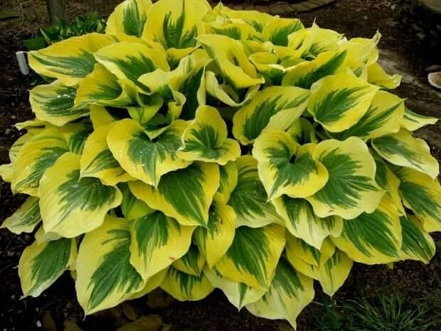 Хоста идеальное растение для тени
