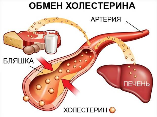 Функции холестерина в организме человека
