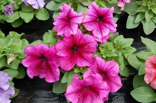 Петуния крупноцветковая (генетически компактная) (Petunia grandiflora)