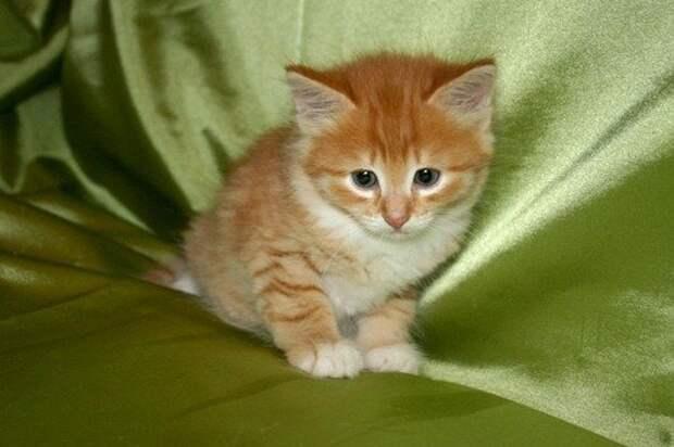 Рыжая кошка в доме - это кусочек солнышка
