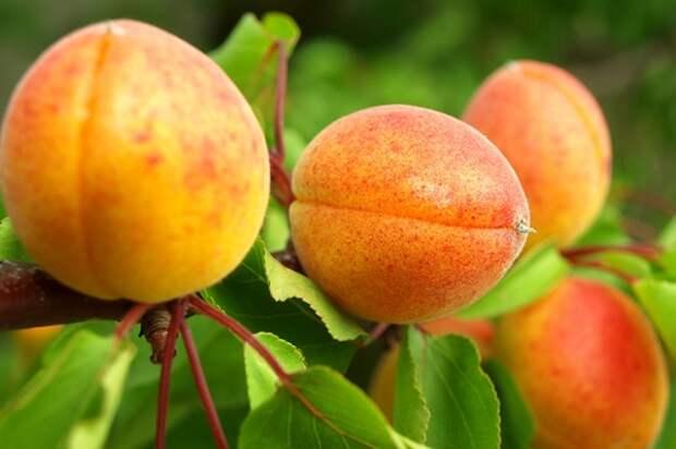 Как ухаживать за абрикосом, чтобы каждый год быть с урожаем