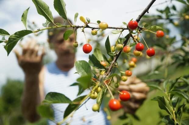 Вишня полезнее черешни, поскольку там намного меньше фруктозы