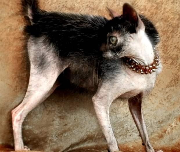 Ужасы генной инженерии: 7 самых страшных пород домашних животных.