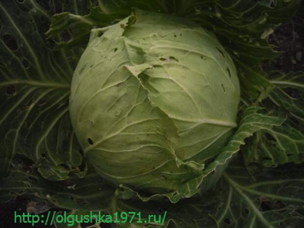 Выращивание капусты белокочанной — посадка и уход