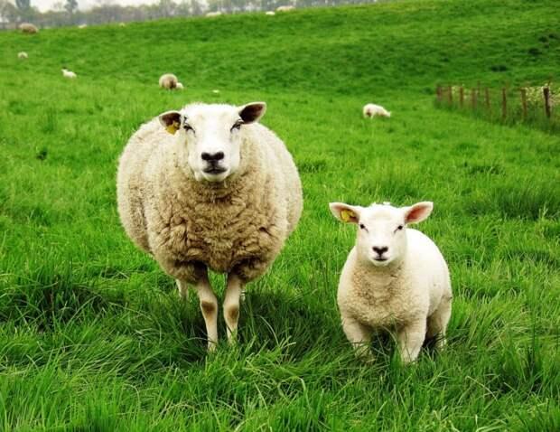 Гость Крыма запал на двух овец и решил ими пообедать