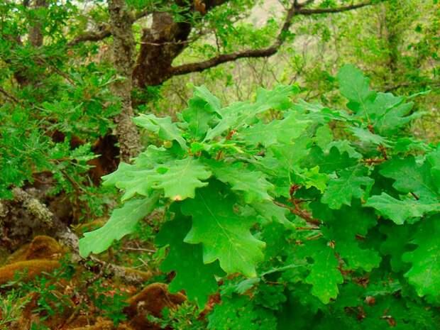 Лекарственное растение Дуб черешчатый (Quercus robur)