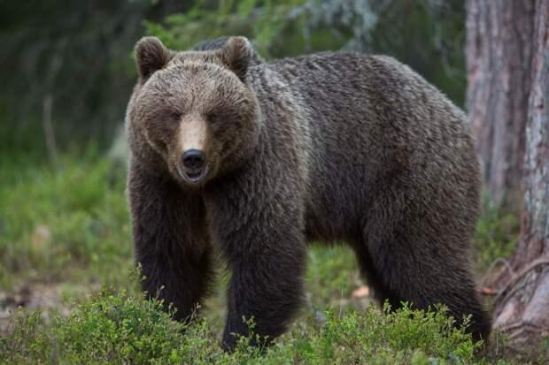 Российские бурые медведи предсказали жаркое лето